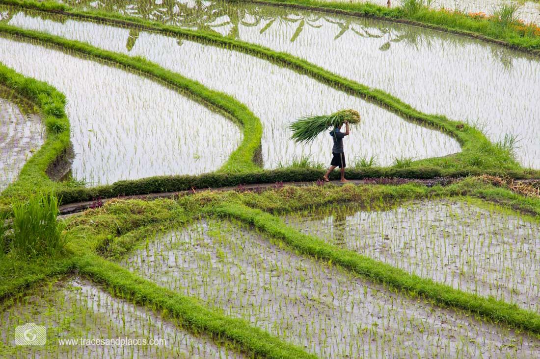 Reisbauer in den Reisterrassen von Tirtagangga