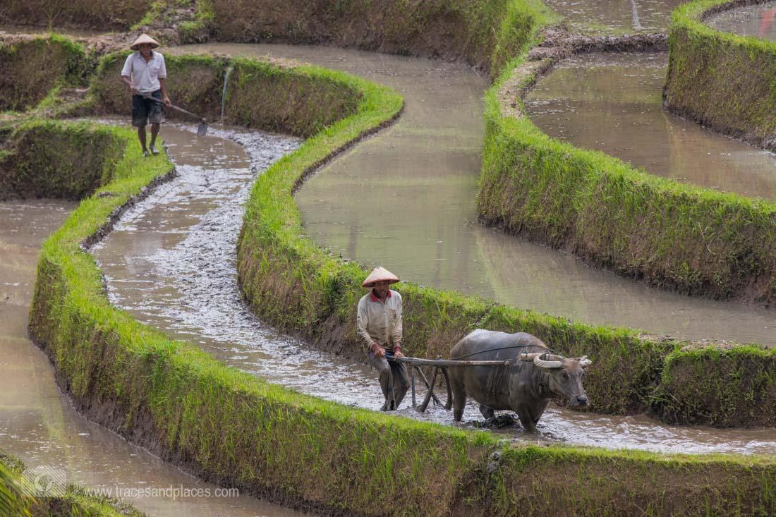 Reisbauer bei der Arbeit in der Reisterrasse von Jatiluwih in Bali