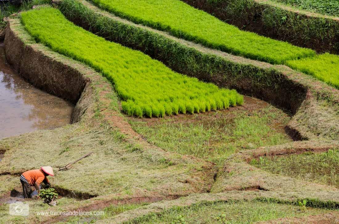 Reisterrasse mit Bauer in Bali-1101