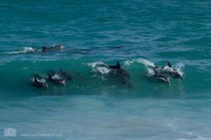 Delfine im De Hoop Nature Reserve