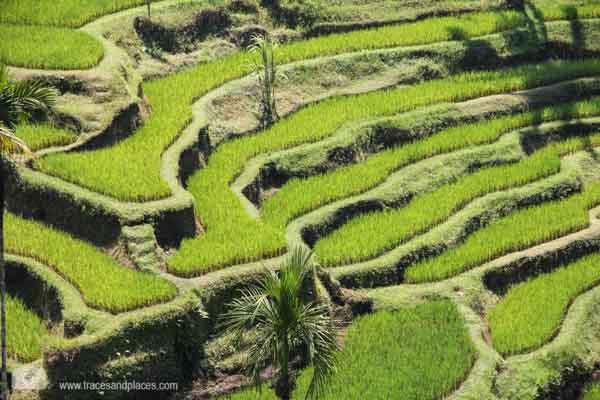 Reisterassen von Tegalalang Bali