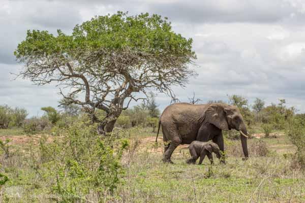 Elefant mit Baby im Krüger