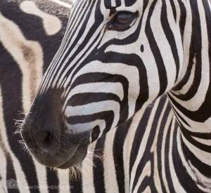 Zebra im Krüger