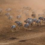 Ochsen im Staub von Pyathada Paya fotografiert
