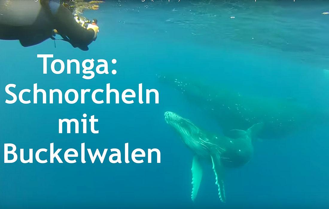 Tonga-schnorcheln-mit-Buckelwalen